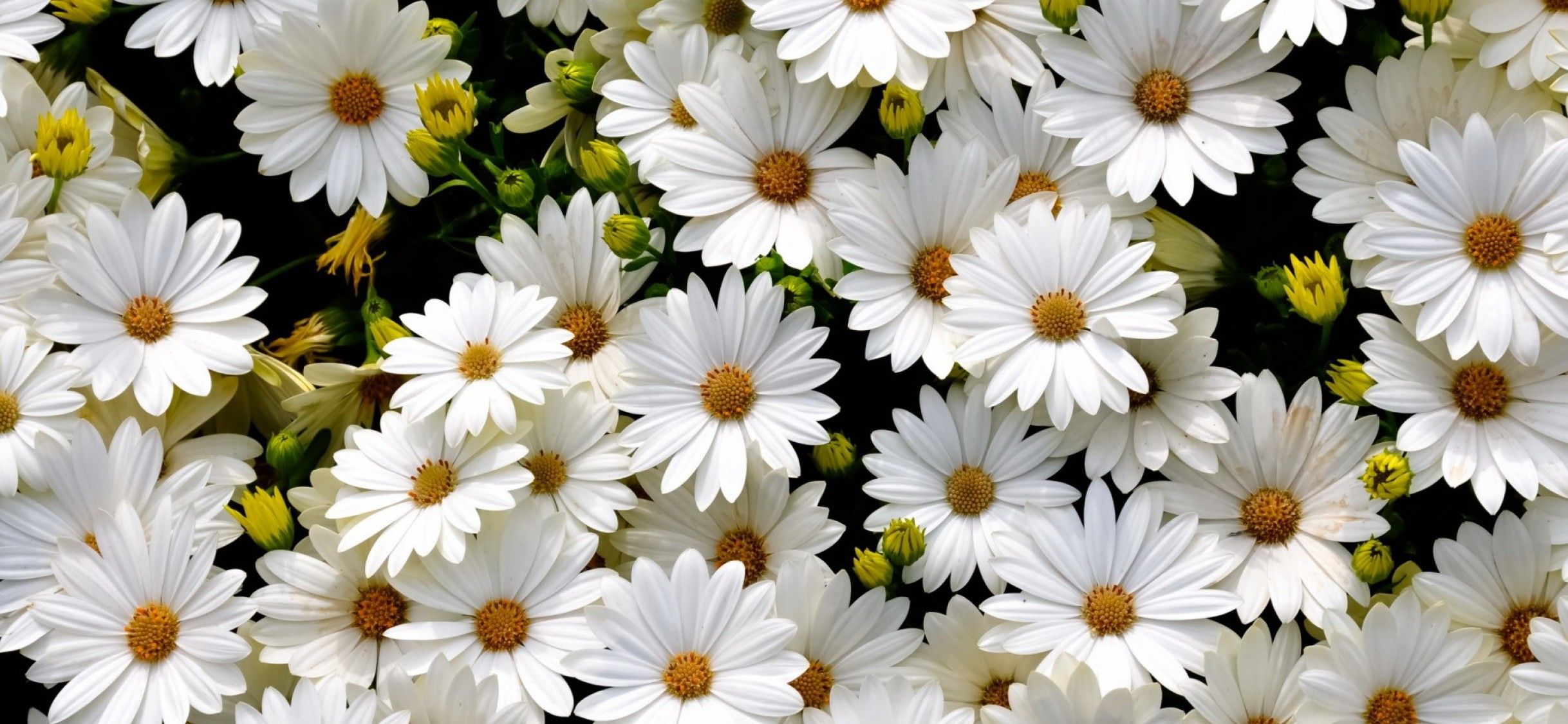 White Daisies Iphone X Hd Wallpaper Wallpapers Net