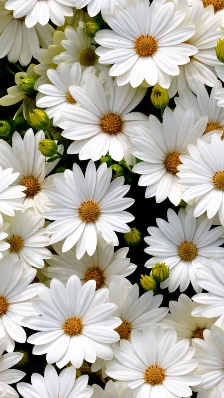 white daisies iphone 6 / 6s - hd wallpaper - wallpapers